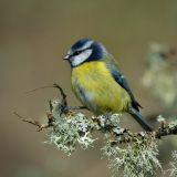 Blue Tit on Lichen Covered Branch