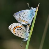 Silver-studded Blues in Cop.