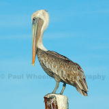 Look at Me! - Brown Pelican - Aruba.