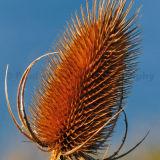 Common Teasel Seedhead