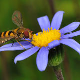 Hoverfly on Felicia