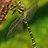 Gold-ringed Dragonfly