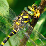 Golden-ringed Dragonfly Eating a Takeaway!