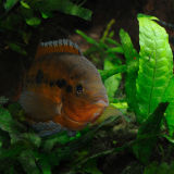 Rainbow Cichlid Hiding in Plants