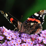 Red Admiral Feeding on Buddleia