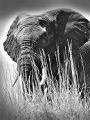 Elephant (11)
