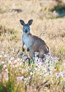 Euro (Sth Australian Kangaroo) (1)