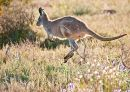 Euro (Sth Australian Kangaroo) (2)