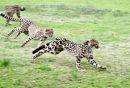 King Cheetah Dubbo Zoo (1)