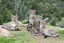 King Cheetah Dubbo Zoo (2)