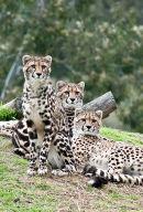 King Cheetah Dubbo Zoo (3)