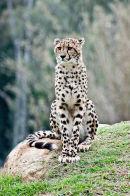 King Cheetah Dubbo Zoo (4)