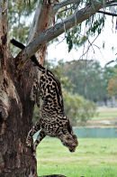 King Cheetah Dubbo Zoo (5)