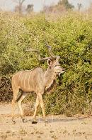 Kudu Male (2)