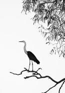 Pacific (White Necked) Heron