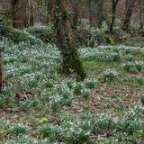 Snowdrops in the wood