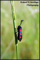Five-Spot Burnet Moth - Essex