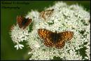 Heath Fritillary Butterfly - Essex