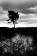 Lone Pine and Rushes - Scolty Hill