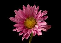 Santini Chrysanthemum