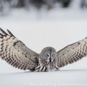 Great Grey Owl Hunting-18