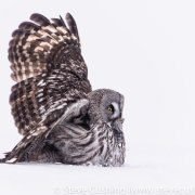 Great Grey Owl with Vole-7