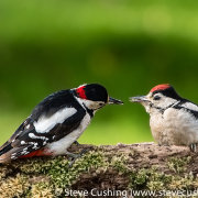 Great Spotted Woodpecker - 7718