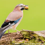 Jay on branch with acorn