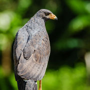 Mangrove Black-hawk
