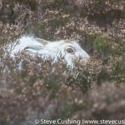 Mountain Hare in Cairngorms-5