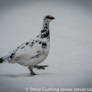 Ptarmigan in Cairngorms-11