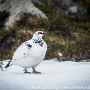 Ptarmigan in Cairngorms-16