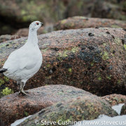 Ptarmigan in Cairngorms-2