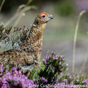 Red Grouse in Heather 1