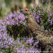 Red Grouse in Heather 2