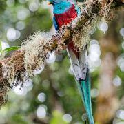 Resplendent Quetzal 1