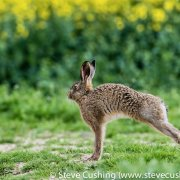 Hare Stretching