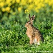 European Hare eating