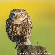Little Owl with mouse
