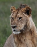 Portrait of a young male lion.