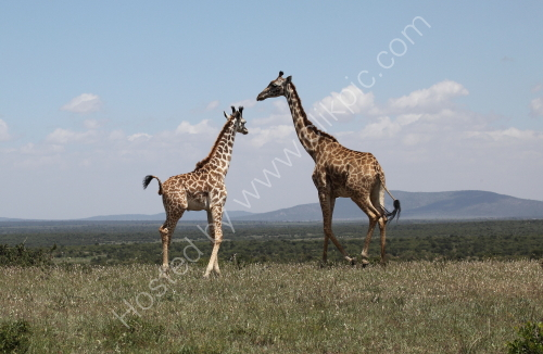 Giraffes at the Masai Mara