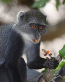 Sykes monkey - snacking on berries