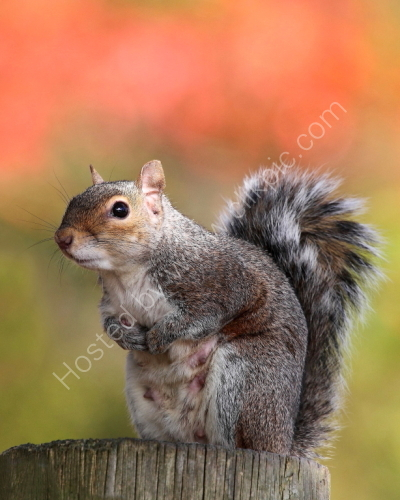 Female Grey Squirrel  - In Autumn