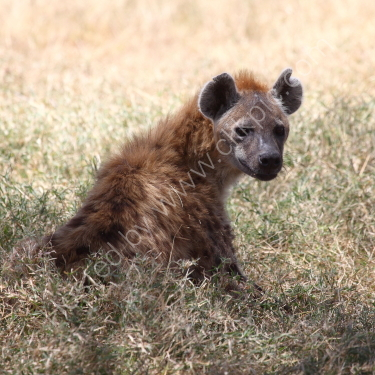 Hyena looking back at me.