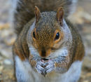 Grey Squirrel of the New Forest