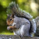 Grey Squirrel Snacking