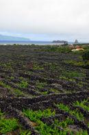 Pico - Madalena - Vines - World Heritage Site