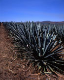 Jalisco: Tequila: Agave