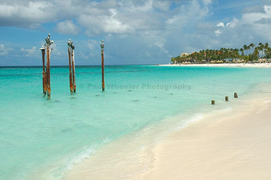 Paul Wheeler Photography Pelicans At Druif Beach Aruba